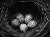Bird Eggs in Nest Lámina fotográfica por Henry Horenstein