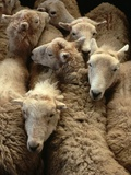 Sheep for Sale at the Welshpool Sheep Auction Photographic Print by Farrell Grehan