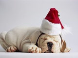 Bulldog Puppy Wearing Santa Hat Photographic Print by Jim Craigmyle