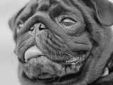 Pug Dog's Face Photographic Print by Henry Horenstein