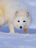 Arctic Fox Walking Across Snow Photographic Print by Theo Allofs