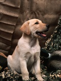 Labrador Retriever Puppy Photographic Print by Joe McDonald