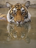 Young Tiger in Water Photographic Print by Theo Allofs
