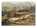 Illustration of Fishing Tackle with a Trout and a Charr Giclee Print by  Bettmann