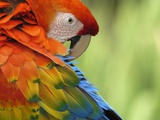 Colorful Scarlet Macaw Photographic Print by Ralph Clevenger