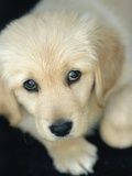 Golden Retriever Puppy Fotografie-Druck von Bill Varie