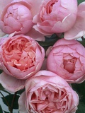 Brother Cadfael Roses Photographic Print by Clay Perry