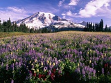 Wildflowers in Mt. Rainier National Park Stampa fotografica di Stuart Westmorland