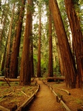 Redwoods Forest Photographic Print by Charles O'Rear