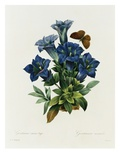 Gentianae Acaulis Giclee Print by Pierre Joseph Redoute