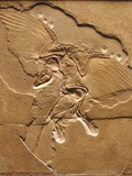 Archaeopteryx Fossil Photographic Print by Louie Psihoyos