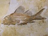 Propterus Elongatus Fish Fossil Photographie par Naturfoto Honal