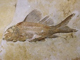 Propterus Elongatus Fish Fossil Photographic Print by Naturfoto Honal