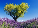 Tree in Lavender Field Photographic Print by Bryan F. Peterson