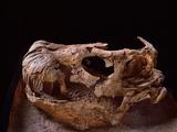 Nemegtosaurus Skull Photographic Print by Louie Psihoyos
