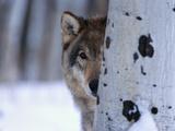 Gray Wolf Behind Aspen Fotografie-Druck von Jeff Vanuga