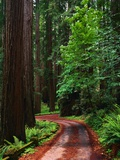 Road Through Redwood Forest Photographic Print by Mark Karrass