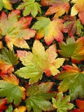 Wet Autumn Maple Leaves on Ground Photographic Print by Craig Tuttle