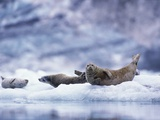 Harbor Seals on Iceberg in Glacier Bay National Park Photographic Print by Paul Souders