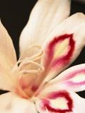 Gladiolus Photographic Print by David Roseburg