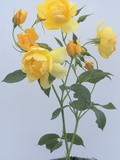 Buttercup Roses Photographic Print by Clay Perry