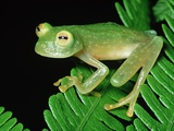 Glass Frog Photographic Print