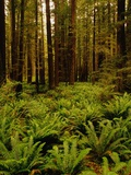 Ferns in Redwood Forest Photographic Print by Charles O'Rear