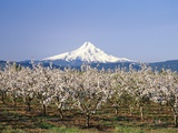 Apple Blossoms Against Mt. Hood Photographic Print by Craig Tuttle