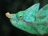 Head of a Parson's Chameleon Photographic Print