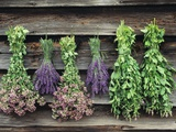 Herbs Drying Upside Down Photographic Print by Clay Perry