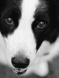 Head of Border Collie Photographic Print by Henry Horenstein
