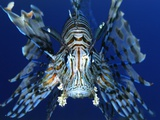 Red Lionfish Fotodruck von Bill Varie