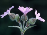 Red Campion in Flower Photographic Print by Niall Benvie
