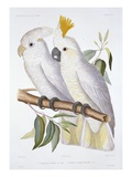 Print of Two Cockatoos by A. Dumenil Giclee Print by  Stapleton Collection
