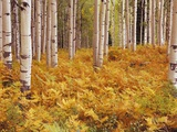 Aspen Forest in Golden Colored Ferns Photographic Print by William Manning