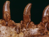 Teeth of a Megalosaurus Photographic Print by Louie Psihoyos