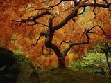Maple Tree in Autumn Fotografie-Druck von John McAnulty
