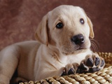 Yellow Lab Puppy in Basket Photographic Print by Jim Craigmyle