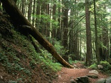 Trail in Redwood Forest Photographic Print