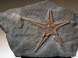 Fossilized Starfish Photographic Print by Layne Kennedy