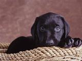 Black Lab Puppy in Basket Fotografisk tryk af Jim Craigmyle