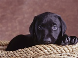 Black Lab Puppy in Basket Photographic Print by Jim Craigmyle