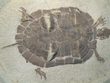 Eocene Echmatemys Fossil Turtle Photographic Print by Kevin Schafer