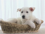 German Shepherd Pup Resting in a Wicker Basket Photographic Print by Jim Craigmyle