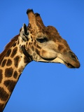 Red-Billed Oxpecker on Giraffe's Head Photographic Print