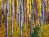 Grove of Birch Trees Photographic Print by Randy Wells