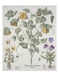 Papaver Corniculatum Premium Giclee Print by Basilius Besler