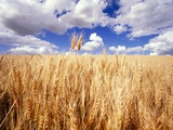 Wheat Field Growing Beneath Puffy Clouds Photographic Print by Craig Tuttle