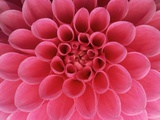 Hot Pink Dahlia Flower Photographic Print by John McAnulty