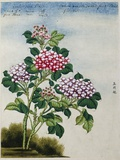 Early 19th-Century Chinese Watercolor of a Hydrangea Photographic Print